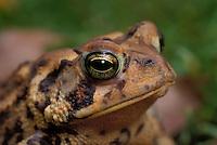 American Toad..Great Lakes Region, Ontario, Canada..(Bufo americanus).
