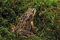 COLUMBIA SPOTTED FROG..Southwestern British Columbia. Canada..Rana luteiventris.