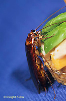 OR13-018d   American Cockroach eating sandwich - Periplaneta americana