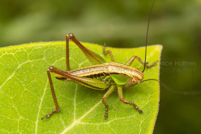 Roesel's Katydid (Roeseliana roeselii) aka Roesel's Bush-cricket - Female