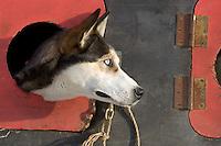 Tim Osmars Dog *Bonnie* Peers out Dog Box @ 2005 Iditarod Ceremonial Start