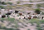 Herd of llamas and alpacas, Lauca National Park, Chile