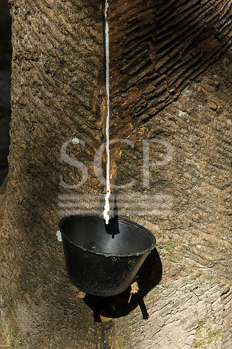 Para State, Brazil.  White Latex from a tree, traditional bleeding method from rubber tree in an extractive reserve.