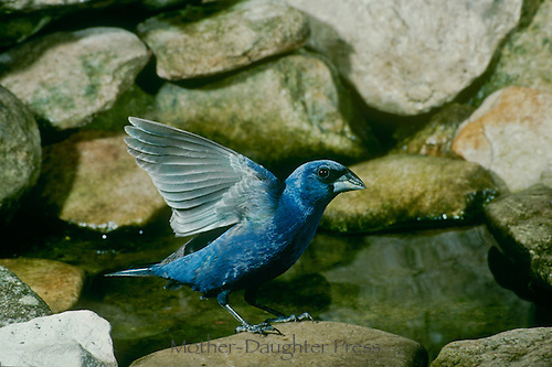 Blue grosbeak, Passerina caerulea, drying his wings after a bath