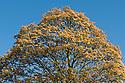 Sycamore (Acer pseudoplatanus 'Brilliantissimum'), mid April.