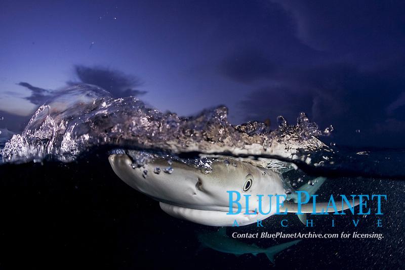 Caribbean reef shark (Carcharhinus perezii) split image at dusk, Bahamas, Caribbean, Atlantic