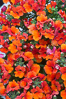 Nemesia 'Angelart Orange' annual flowering plant with vividly bright colored orange red little blooms