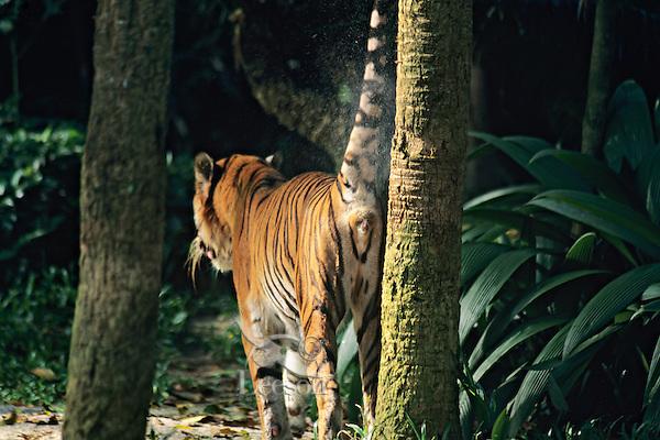 Sumatran Tiger spraying (marking) scent onto tree.