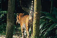 Sumatran Tiger spraying (marking) scent onto tree.