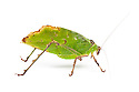 Malaysian Leaf Katydid {Ancylecha fenestrata},  an execellent leaf mimic originating from the rainforests of Western Malaysia. Photographed on a white background, captive. website