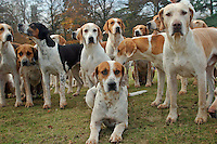 Cambridgeshire, England, 05/11/2003..The Fitzwilliam Hunt on their first meet of what may be the last legal hunting season in the UK, as Parliament moves to ban hunting with dogs..If hunting is banned sone 20,000 hunting dogs will be killed, as they are unsuitable for family pets.