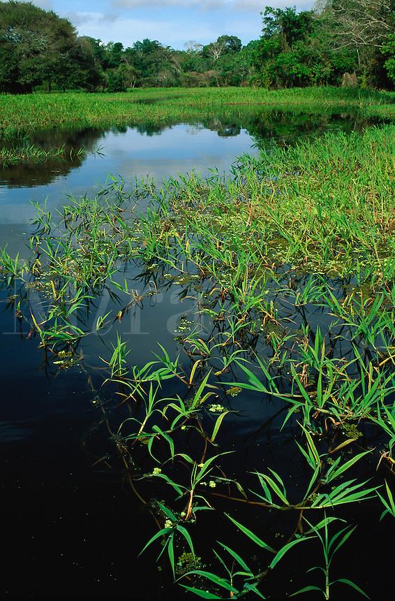 Floating grass in open channel in swamp forest (mata de igapo) in Mamiraua reserve, Brazil, Amazonas, Amazon region..