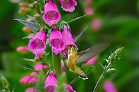 Rufous Hummingbird (Selasphorus rufus) feeding on foxglove flowers, Pacific Northwest.  June.  This is the real thing not some setup.  This photo was taken in Olympic National Forest where foxglove is very common in logged over areas and along side roadways and trails.