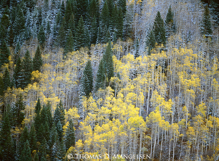 As autumn gives way to winter, yellow leaves fall from aspen trees in this spruce and aspen forest in White River National, Colorado.