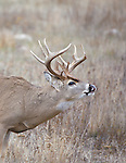 A whitetail buck lip curling during the rut in western Montana