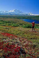 Hiker, red bearberry, Wonder lake and mount Denali, Denali National Park, Alaska