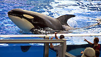 Killer Whales at Seaworld, Florida