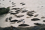Harbor Seal (Common Seal) Harem in La Jolla basking on the beach in the late afternoon.   More than 30 individuals are shown.