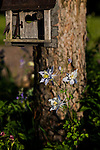Colorado columbine, red pine, and a decorative bird house