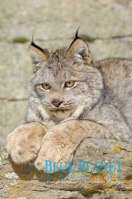 Canadian Lynx (Lynx canadensis), sitting on rocks, showing large paws, USA, America, North America