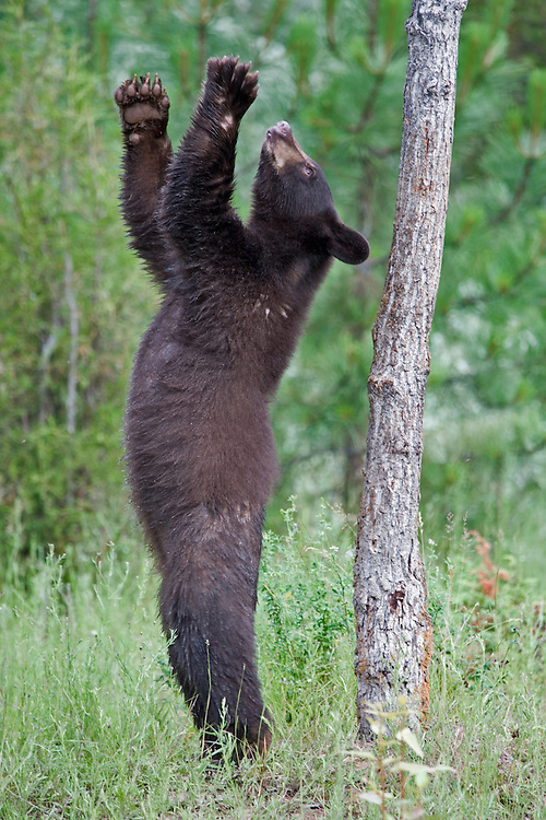 Young brown bear standing and looking up into a tree - CA