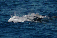 Group of Risso's Dolphin at the surface