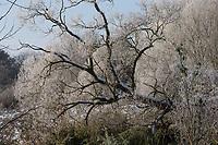 Verschneite Weide, Salix spec., Bruchwald, Schnee, Wintereinbruch im November, Deutschland, Schleswig-Holstein