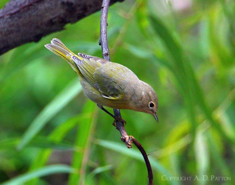 Female Nashville warbler in fall migration