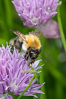 Ackerhummel, Acker-Hummel, Hummel, Weibchen, Blütenbesuch, Pollenhöschen, Bombus pascuorum, Bombus agrorum, Megabombus pascuorum floralis, common carder bee, carder bee, female, le bourdon des champs