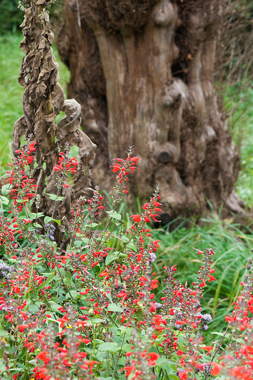 Salvia elegans, mid October. A perennial shrub native to Mexico and Guatemala, commonly called Pineapple sage or Tangerine Sage.