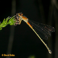 0826-06mm  Eastern Forktail Damselfly - female - Ischnura verticalis - © David Kuhn/Dwight Kuhn Photography