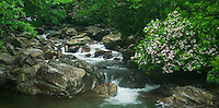 Mountain Laurel blooming along West Prong Little Pigeon River