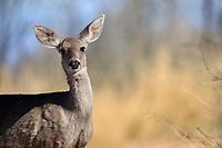 Desert Mule Deer (Odocoileus hemionus eremicus), female in Madera Canyon, Green Valley, Arizona.