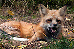 Red fox laying down yawning medium shot