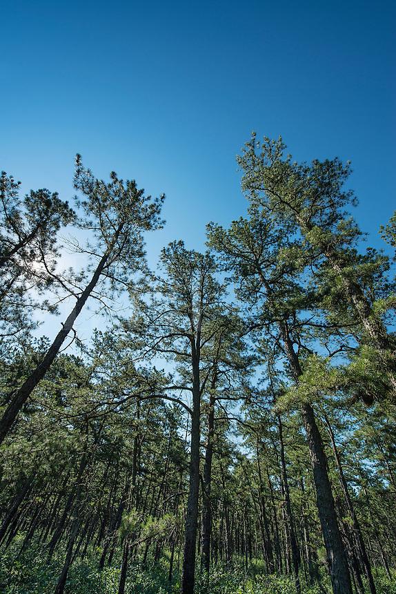 White cedar trees, Rine Barrens, New Jersey, USA