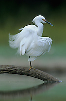 Snowy Egret, Egretta thula,adult preening, Starr County, Rio Grande Valley, Texas, USA