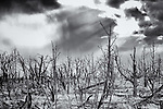 Black and white image of burned trees with stormy sky.  Taken with infrared camera