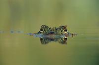 American Alligator, Alligator mississipiensis, adult swimming, Welder Wildlife Refuge, Sinton, Texas, USA, June 2005