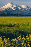 Seep spring arnica,  Grass Lake<br />   and Mt. Shasta<br /> Highway 97,  Siskiyou County<br /> Cascade Range,  California
