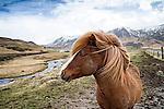 Icelandic pony at Storidalur