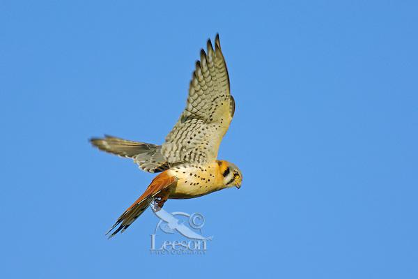 American Kestrel (Falco sparverius) hovering while hunting.   Western U.S.