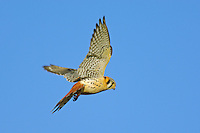 American Kestrel (Falco sparverius) hovering while hunting.   Western U.S.