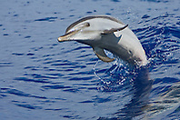Young Pantropical Spotted Dolphin, Stenella attenuata, jumping out of boat wakes, off Kona Coast, Big Island, Hawaii, Pacific Ocean.