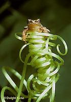 FR16-045a  Spring Peeper Tree Frog -sitting on pumpkin tendril -  Pseudacris crucifer, formerly Hyla crucifer