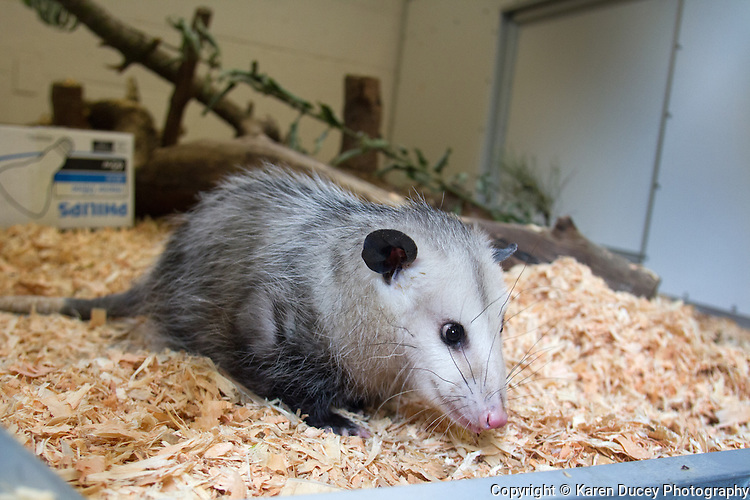 """Kimmie is a one-year-old opossum living at the Woodland Park Zoo.  Originally from Houston, a dog had grabbed her and bit her causing a severe spinal injury. The Woodland Park Zoo got her from the Texas Wildlife Rehabilitation Coalition and sent her to Seattle where she is undergoing physical therapy. Kimmie is food motivated """"She'll do anything for cheese,"""" says Karen Ofsthus from the zoo's interpretive engagements program. """"Originally she couldn't climb up or down but she's getting stronger."""" She's around 6 pounds."""