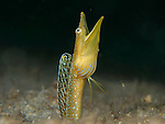 Blue Throat Pike Blenny Male, Chaenopsis ocellata