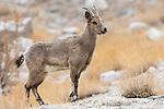 Female Himalayan ibex (Capra sibirica). Himalayas, Ladakh, northern India.