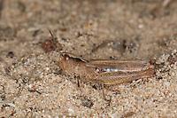 Steppen-Grashüpfer, Steppengrashüpfer, Grashüpfer, Weibchen, Chorthippus vagans, syn. Glyptobothrus vagans, heath grasshopper, heath-grasshopper