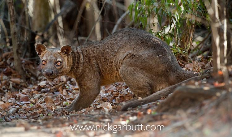 Adult male Fosa (Crytoprocta ferox) (sometimes incorrectly Fossa) resting amongst leaf-litter on deciduous forest floor. Kirindy Forest, western Madagaascar.