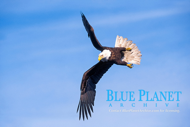 bird, bald eagle, Haliaeetus leucocephalus, in flight Katchamack Bay, southcentral Alaska